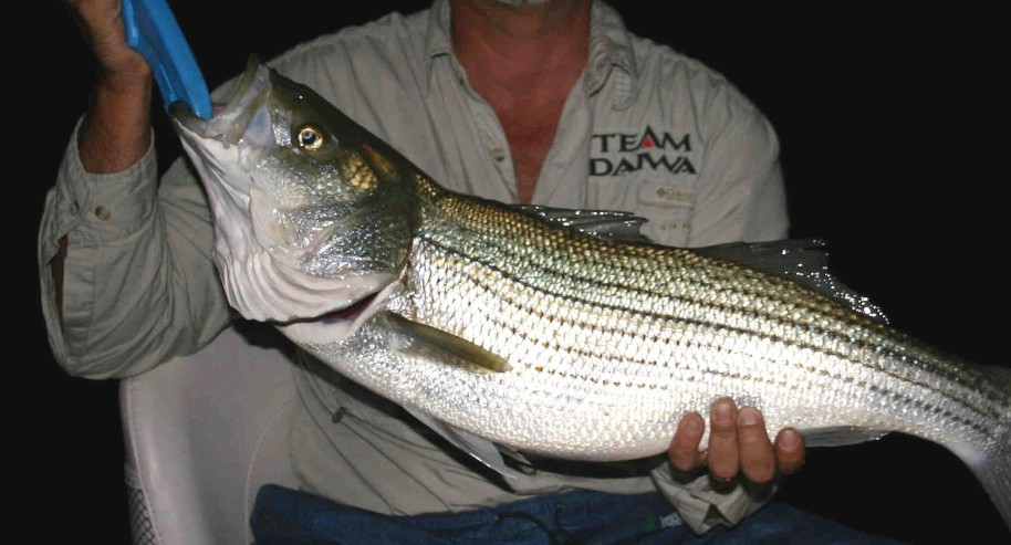 Erby's first good striper on an A-Rig